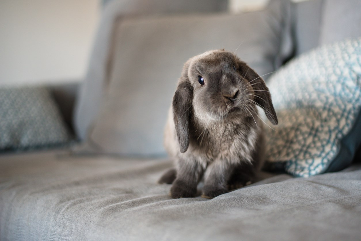 Grey pet rabbit on a couch.