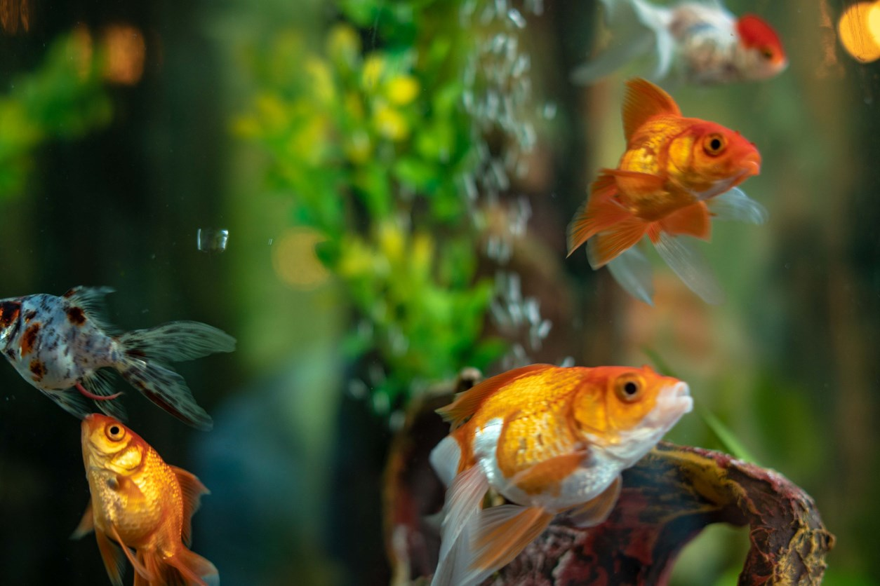 Pet gold fish in a tank.