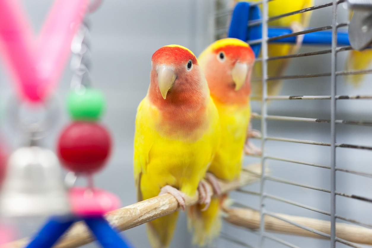 Two pet birds in a cage